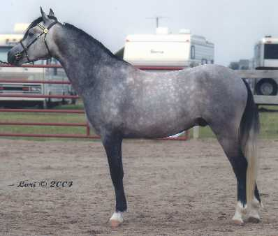 Gayfields Silver Sprocket at four years old